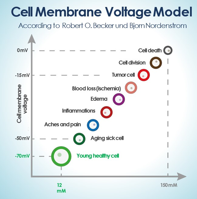 Cell Membrane Voltage Model